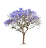 Härlig blomma jakarandatree arkivbilder