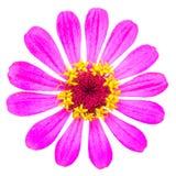 Härlig blomma - krysantemum Royaltyfri Bild
