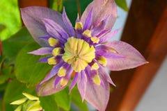 Härlig blomma med stora färger som skiner i solen fotografering för bildbyråer