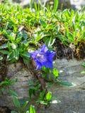 Härlig blomma på rutten för högt berg till och med det Gemmi passerandet I arkivfoton