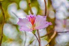 Härlig blomma på trädet, vetenskapligt namn: Bauhiniavariegataen, stänger sig upp av den purpurfärgade blomman på suddig naturbak arkivbilder