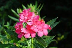 Härlig blomma - rosa färg royaltyfria foton