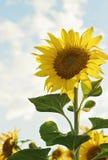 Härlig blomma solros Royaltyfri Foto