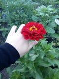 härlig blomma vallmo fotografering för bildbyråer