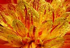Härlig blommadahlianärbild Royaltyfri Foto