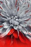 Härlig blommadahlianärbild Arkivbild