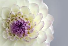 Härlig blommadahlianärbild Arkivfoto