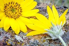 härlig blommafjäderyellow Arkivbild