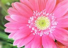 härlig blommagerbera Arkivfoto