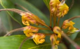 härlig blommagrevilleavenusta Royaltyfri Foto