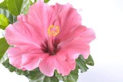 härlig blommahibiskus över rosa white Fotografering för Bildbyråer