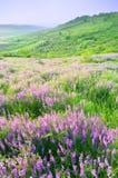 härlig blommaliggandeviolet Fotografering för Bildbyråer