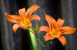 Härlig blommalilja på en mörk bakgrund royaltyfri fotografi