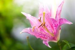 härlig blommaliljapink royaltyfri bild