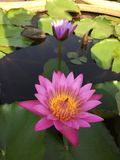 härlig blommalotusblomma Arkivfoton