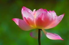 härlig blommalotusblomma Arkivfoto