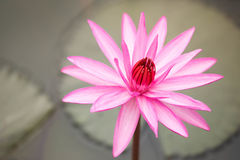 härlig blommalotusblomma Royaltyfria Foton