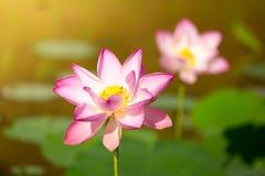 härlig blommalotusblomma royaltyfri foto