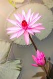 härlig blommalotusblomma arkivbild