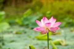 härlig blommalotusblomma Royaltyfri Fotografi