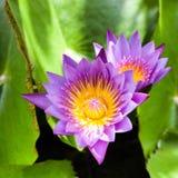 härlig blommalotusblomma Genomdränkta färger och den vibrerande detaljen gör Fotografering för Bildbyråer