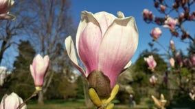 härlig blommamagnolia Royaltyfria Bilder