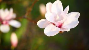 härlig blommamagnoliapink