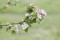 Härlig blommande äppleträdfilial royaltyfria bilder