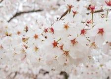 Härlig blommande filial av vita Sakura Flowers eller Cherry Blossom Flowers Blooming på trädet i Japan, naturlig bakgrund Royaltyfri Foto