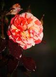 Härlig blommande knopp Steg grönt te för den blommande rosa röda dressingträdgården Arkivfoton
