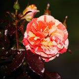 Härlig blommande knopp Steg grönt te för den blommande rosa röda dressingträdgården Royaltyfri Fotografi