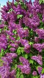 Härlig blommande lila buske i vår fotografering för bildbyråer