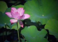 Härlig blommande lotusblomma Arkivbild
