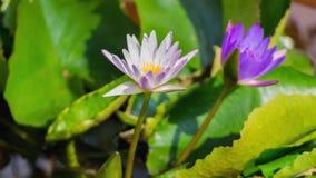 Härlig blommande lotusblomma för Tid schackningsperiod i dammet stock video