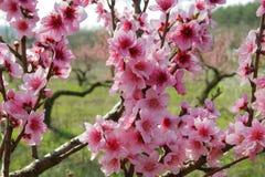 Härlig blommande persika Fotografering för Bildbyråer