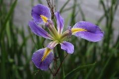 Härlig blommande purpurfärgad iris på Calloway trädgårdar royaltyfri foto