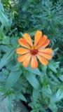 härlig blommaorange Fotografering för Bildbyråer