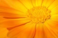 härlig blommaorange Royaltyfri Fotografi