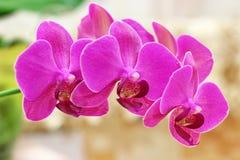 härlig blommaorchid Fotografering för Bildbyråer