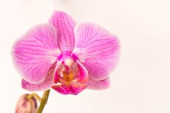 härlig blommaorchid close upp Orkidéknopp arkivfoton