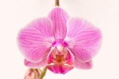 härlig blommaorchid close upp Orkidéknopp royaltyfri fotografi
