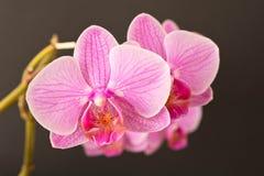 härlig blommaorchid close upp Orkidéknopp royaltyfria bilder