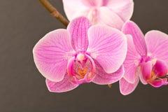 härlig blommaorchid close upp Orkidéknopp arkivbilder