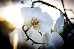 Härlig blommaorkidé i aftonen arkivfoto