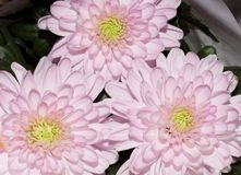 härlig blommapink Fotografering för Bildbyråer