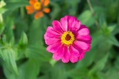 härlig blommapink Royaltyfria Foton