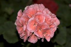 härlig blommapink Arkivfoton
