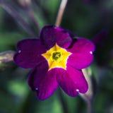 härlig blommapurple Arkivbild