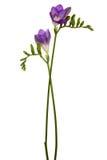 härlig blommapurple Royaltyfri Bild