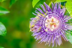 härlig blommapurple Arkivbilder